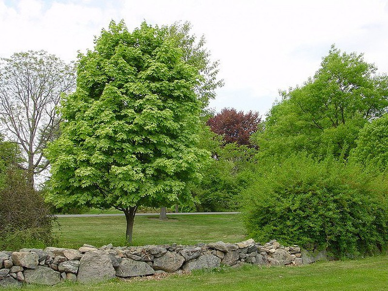 Arce común- Acer campestre — Verdify