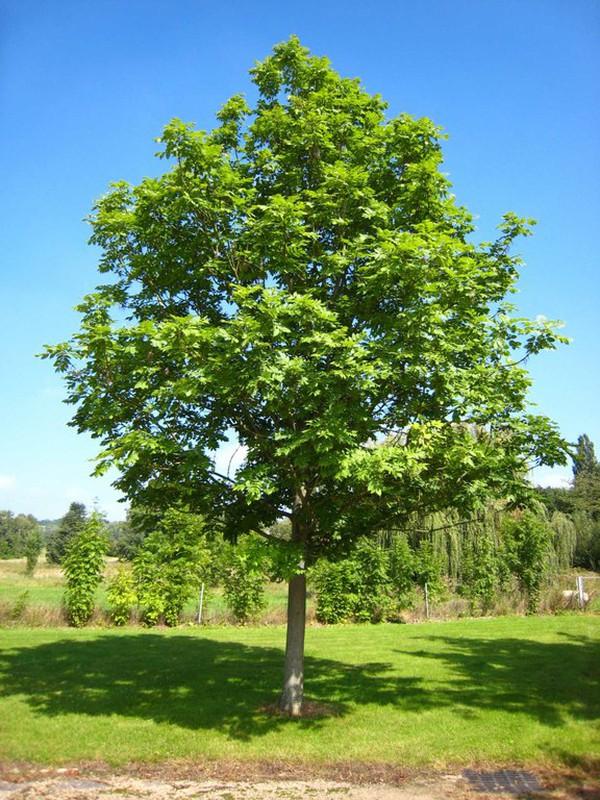 Fresno común- Fraxinus excelsior — Verdify