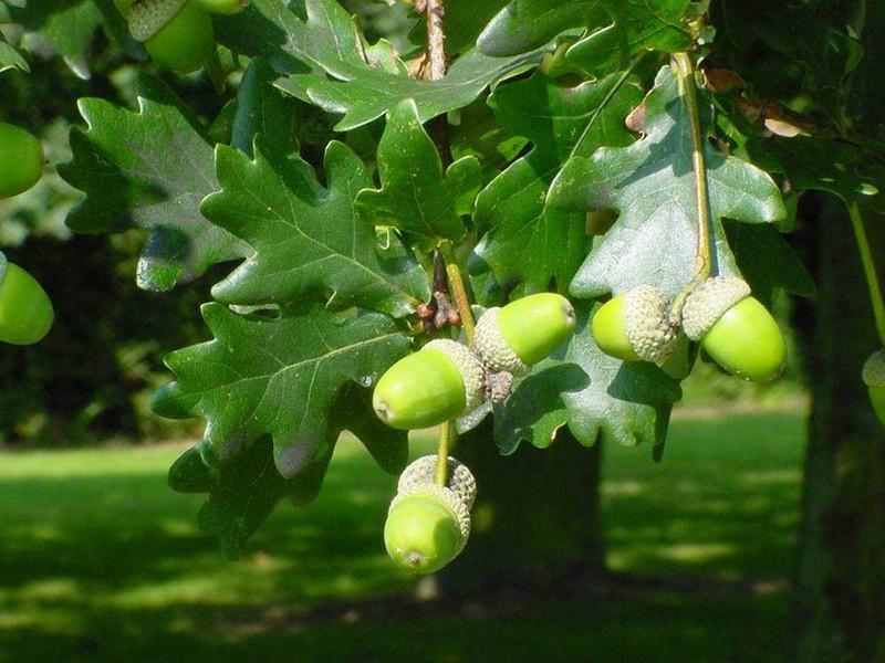 Quercus Robur - Roble común - Carballo — Verdify