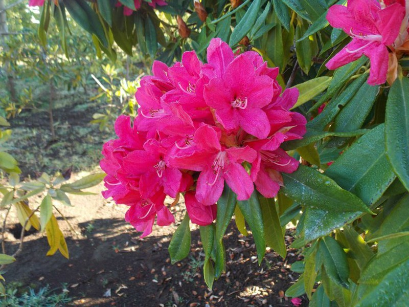 Rododendro - Rhododendron híbrido — Verdify